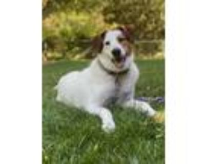 Adopt Neville a Great Pyrenees / Beagle / Mixed dog in Omaha, NE (31631832)