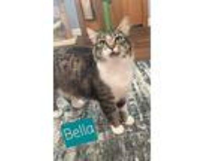 Bella, Domestic Mediumhair For Adoption In West Richland, Washington