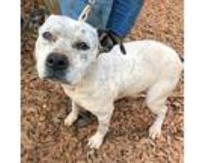 Speckles, Staffordshire Bull Terrier For Adoption In Laurel, Maryland