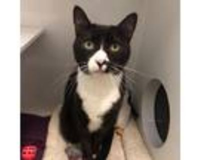 Adopt Maggie a All Black Domestic Shorthair / Mixed cat in Los Angeles