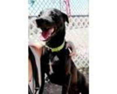 Adopt Sam a Black Labrador Retriever / Mixed dog in Phoenix, AZ (31595424)