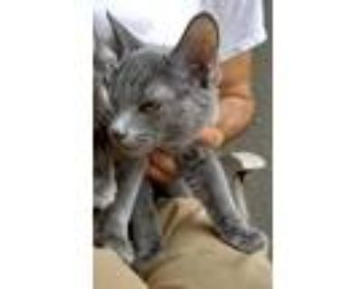 Adopt Lisa's Victor a Gray or Blue Russian Blue / Mixed cat in Los Lunas