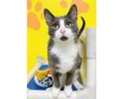 Adopt Duckling a Gray or Blue Domestic Shorthair / Domestic Shorthair / Mixed
