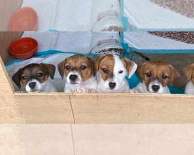 SHORTY JACK RUSSELL PUPPIES FOR SALE IN LOUISVILLE
