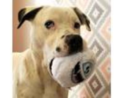 Adopt Baron a White - with Black Boxer / Hound (Unknown Type) dog in Palatine