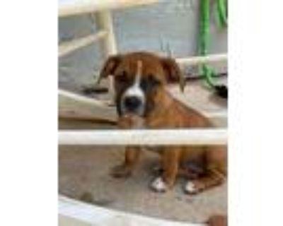 Adopt Lisa a Tricolor (Tan/Brown & Black & White) Dachshund / Pit Bull Terrier /