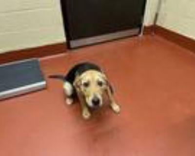 Adopt Jo a Black Plott Hound / Shepherd (Unknown Type) dog in Douglasville