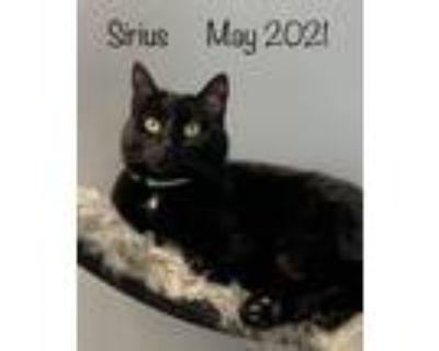Adopt Sirius a All Black Domestic Shorthair / Mixed (short coat) cat in