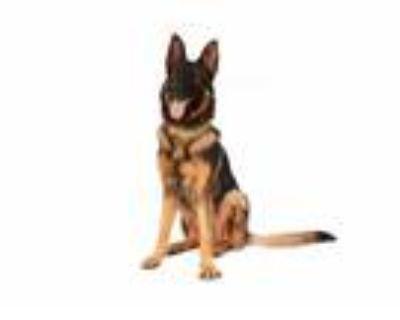Adopt Sabu a Black - with Tan, Yellow or Fawn German Shepherd Dog / Mixed dog in