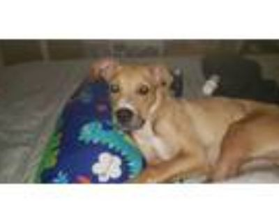 Adopt Charles a Pit Bull Terrier
