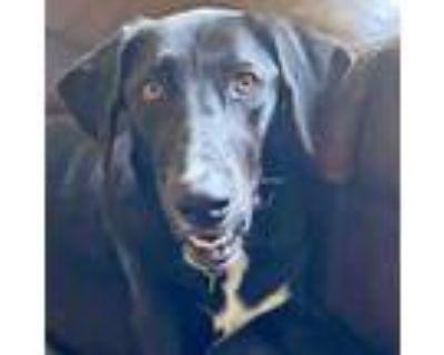 Adopt Josie a Labrador Retriever, Mixed Breed