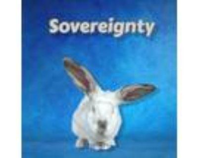 Adopt Sovereignty a White New Zealand / Mixed rabbit in Williston, FL (30987208)