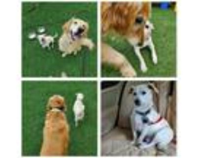 Adopt Charlie - Bonded to Miss Murph a White Jack Russell Terrier / Mixed dog in