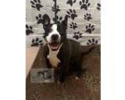 Adopt LILY a Black - with White Boston Terrier / American Pit Bull Terrier /