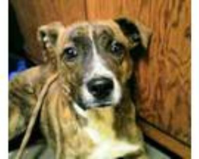Adopt Chase a Boxer, Hound