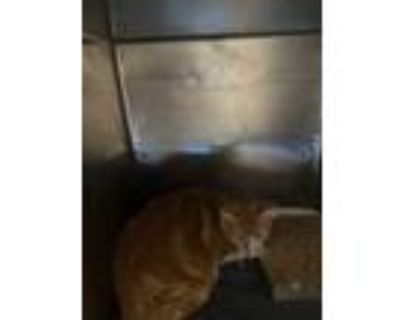 Adopt Tommy a Orange or Red Domestic Mediumhair / Mixed cat in El Paso