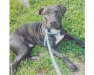 Adopt Anakin a Black Labrador Retriever, Pit Bull Terrier