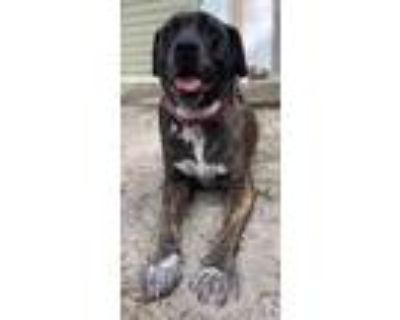 Adopt Help Two Giants, FOSTER TO ADOPT a Cane Corso, Mastiff