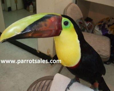 Toucans for sale