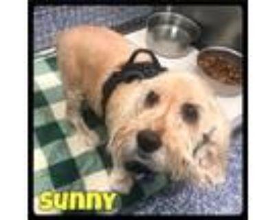 Adopt Sunny - Foster (2011400) / 2020 a Cocker Spaniel