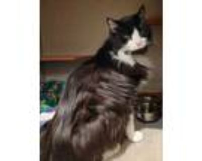 Adopt Nest a All Black Domestic Longhair / Domestic Shorthair / Mixed cat in
