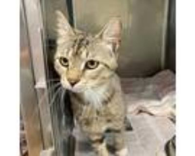 Adopt Harper a Brown or Chocolate Domestic Shorthair / Mixed cat in Northbrook