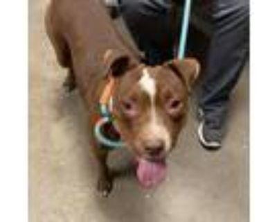Adopt Nala a Brown/Chocolate Pit Bull Terrier / Mixed dog in Yuma, AZ (31529698)