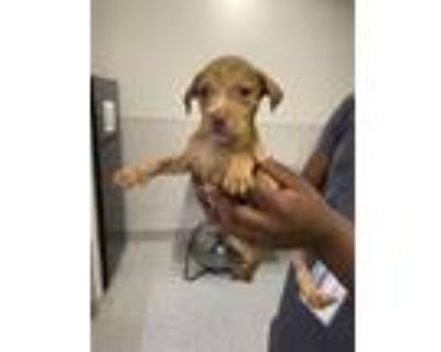 Adopt A577067 a Labrador Retriever, Mixed Breed