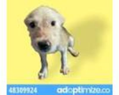 Adopt 48309925 a White Fox Terrier (Wirehaired) / Mixed dog in El Paso