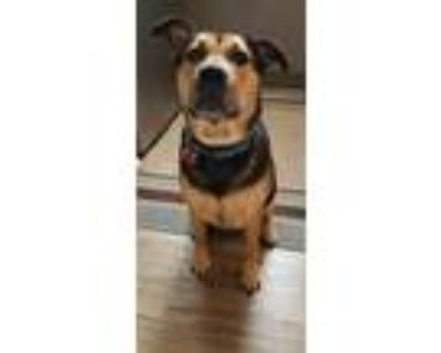 Adopt Ellie a Black - with Tan, Yellow or Fawn German Shepherd Dog / Mixed dog