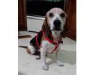 Adopt Uncle Jed a Beagle