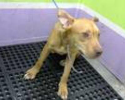 Adopt MURRAY a Tan/Yellow/Fawn Labrador Retriever / Mixed dog in Houston