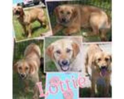 Adopt Lottie a Yellow Labrador Retriever