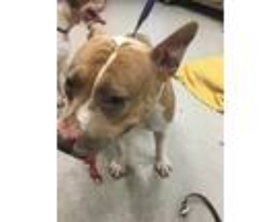 Adopt QUEENIE a White - with Brown or Chocolate American Pit Bull Terrier /
