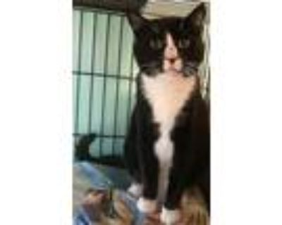 Adopt Big Boy-140 a Domestic Shorthair / Mixed (short coat) cat in Windsor