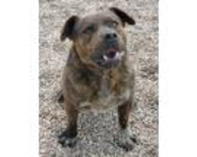 Adopt Grizzly a Pit Bull Terrier, Shepherd