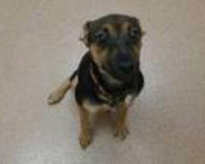 Adopt Cassie a Black Doberman Pinscher / Mixed dog in Boulder, CO (31518501)