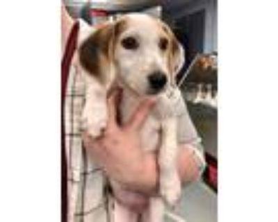 Adopt Bella (was Mountain Dew) a Hound (Unknown Type) / Mixed dog in Richmond