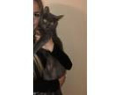 Adopt Gracie a Gray or Blue American Shorthair / Mixed (short coat) cat in