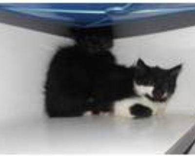 Adopt 48010521 a All Black Domestic Shorthair / Domestic Shorthair / Mixed cat
