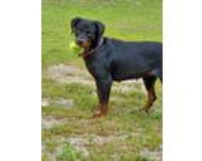 Adopt Duchess a Rottweiler