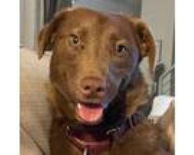 Adopt Choco a Labrador Retriever