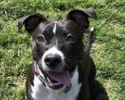 Adopt CeCe a Black American Pit Bull Terrier / Mixed dog in Boulder