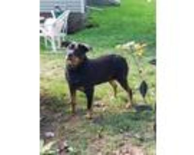 Adopt Gertie a Black - with Tan, Yellow or Fawn Rottweiler / Mixed dog in