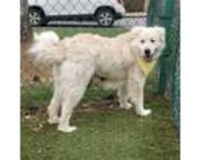 Adopt Charlotte a Great Pyrenees