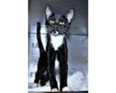 Adopt R245883 a Domestic Short Hair