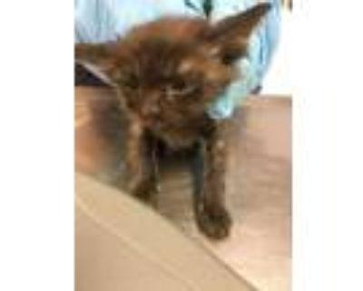 Adopt 48032976 a All Black Domestic Shorthair / Domestic Shorthair / Mixed cat