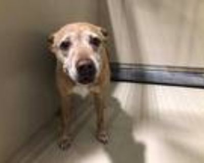 Adopt *MARIE a Brown/Chocolate - with White American Pit Bull Terrier / Mixed