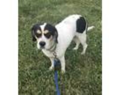 Adopt Honeydew coming soon a White - with Brown or Chocolate Beagle / Spaniel