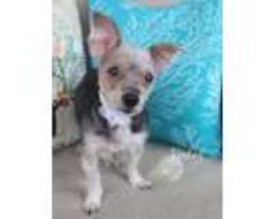 Adopt Keeley a Yorkshire Terrier